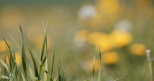Spring flowers dandelions in meadow, springtime scene. Spring meadow with blooming dandelions, green grass and voices of birds. Tranquil rural countryside stock video footage
