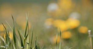 Spring flowers dandelions in meadow, springtime scene stock video footage