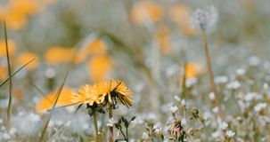Spring flowers dandelions in meadow, springtime scene. Spring meadow with blooming dandelions, green grass and voices of birds. Tranquil rural countryside stock footage