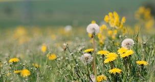 Spring flowers dandelions in meadow, springtime scene stock video