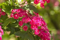 Spring Flowers of the Double Pink Hawthorn in a Woodland Garden Crataegus laevigata `Rosea Flore Pleno`. Spring flower landscape. Hawthorn in blossom royalty free stock photo