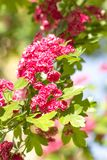 Spring Flowers of the Double Pink Hawthorn in a Woodland Garden Crataegus laevigata `Rosea Flore Pleno`. Spring flower landscape. Hawthorn in blossom stock image