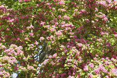 Spring Flowers of the Double Pink Hawthorn in a Woodland Garden Crataegus laevigata `Rosea Flore Pleno`. Spring flower landscape. Hawthorn in blossom royalty free stock photography