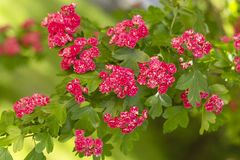 Spring Flowers of the Double Pink Hawthorn in a Woodland Garden Crataegus laevigata `Rosea Flore Pleno`. Spring flower landscape. Hawthorn in blossom royalty free stock photos