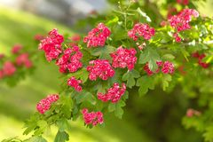 Spring Flowers of the Double Pink Hawthorn in a Woodland Garden Crataegus laevigata `Rosea Flore Pleno`. Spring flower landscape. Hawthorn in blossom stock photo