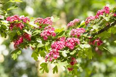 Spring Flowers of the Double Pink Hawthorn in a Woodland Garden Crataegus laevigata `Rosea Flore Pleno`. Spring flower landscape. Hawthorn in blossom royalty free stock image
