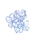 Spring flowers. Drawing with copying pencil. Spring flowers. Lineart. Drawing with copying pencil Stock Photos