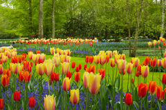 Spring flowers in Keukenhof garden Royalty Free Stock Photo