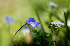Spring flowers. Early Spring flower blooming in early spring in Russia Stock Photography