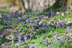 Spring flowers Europe. Noble mayflower Hepanca nobilis . Blue eyes of spring with long eyelashes, drops tears rain call this stock photo
