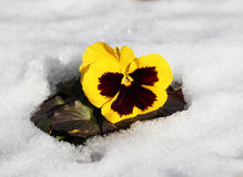 Spring flowers. The first spring flowers in the snow Stock Image