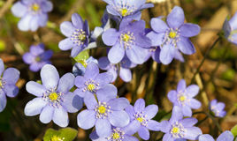 Spring flowers Stock Photography