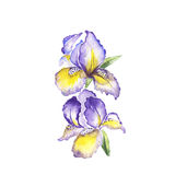 The spring flowers fleur-de-lis painting watercolor  Stock Images