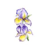 The spring flowers fleur-de-lis painting watercolor  Stock Images