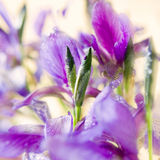 Spring flowers fleur-de-lis. With water drops on it Stock Image
