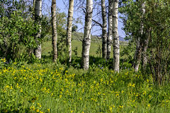 Spring flowers on the floor of an Aspen grove Royalty Free Stock Images