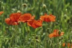 Spring flowers, flourishing red poppies on the field among cereals. Red delicate flowers create in the woods carpets, Spring flowers, flourishing red poppies on stock photos