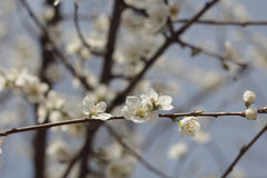 Spring flowers. Spring flowering cherry sapling in the sun and blue sky stock photography