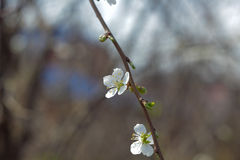 Spring flowers. Spring flowering cherry sapling in the sun and blue sky Royalty Free Stock Image