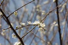 Spring flowers. Spring flowering cherry sapling in the sun and blue sky Royalty Free Stock Photo