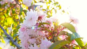 Spring flowers on a flowering tree in the sunlight. . 4K. Spring flowers on a flowering tree in the sunlight. Blooming tree in the spring . 4K stock footage