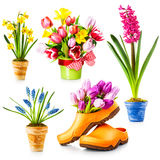Spring flowers. Flowerpot with tulip, daffodil, hyacinth, muscari collection isolated on white background Stock Image
