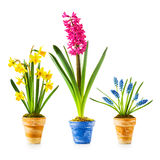 Spring flowers. Flowerpots with daffodil, hyacinth, muscari collection isolated on white background Stock Photography