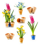 Spring flowers. Flowerpots with daffodil, hyacinth, muscari collection isolated on white background Royalty Free Stock Images