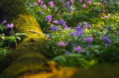 Spring flowers in the forest. Beautiful meadow with spring flowers in the forest stock images