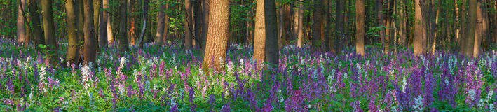 Spring flowers in the forest Royalty Free Stock Image
