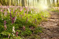 Spring flowers in forest Stock Photography