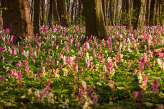 Spring flowers in forest Royalty Free Stock Images