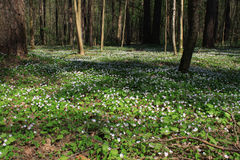 Spring flowers in the forest Royalty Free Stock Images