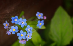 Spring flowers. Of a forget-me-not with green leaves Stock Image