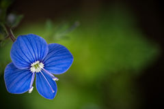 Spring flowers. Of a forget-me-not with green leaves Royalty Free Stock Images