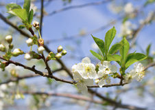 Spring flowers of fruit tree Royalty Free Stock Photos