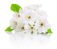 Spring flowers of fruit trees isolated on white background Royalty Free Stock Photography