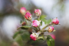 Spring flowers of fruit trees Stock Photography