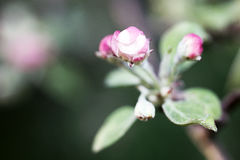 Spring flowers of fruit trees Royalty Free Stock Image