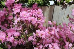 Pink Azaleas growing along wooden fence. Spring flowers in full bloom. Natural filtered sunlight. Fence in the background and green leaves Royalty Free Stock Image
