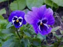 Spring flowers in the garden. Close up royalty free stock photo