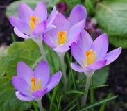 Pink crocuses royalty free stock photography