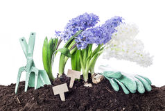Spring - flowers, gardening tools and soil - isolated on white Royalty Free Stock Photography