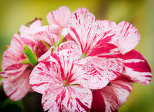 Spring flowers of geranium Stock Image