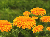 Spring flowers golden calendula  background Stock Photography