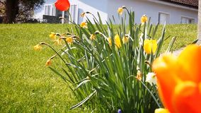 Spring flowers at green grass. Colorful spring flowers at green grass stock video footage