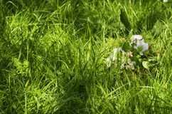 Spring Flowers at Green Grass royalty free stock photography