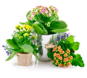 Spring flowers with green leaves in bucket Stock Photography