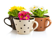 Spring flowers with green leaves in pot Royalty Free Stock Photography