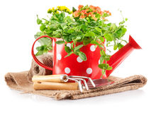 Spring flowers green leaves in watering can garden tools Stock Photography